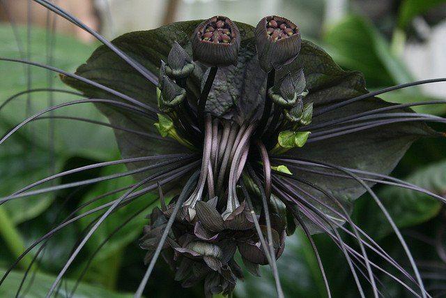Sohranyonnye Fotografii 82 Fotografii Bat Flower Bat Plant Black Flowers
