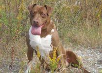 Adopt A Dog Villalobos Rescue Center Dog Adoption Pit Bulls Parolees Pitbull Rescue