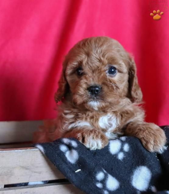 Jemma Cavapoo Puppy for Sale in columbus, OH (With