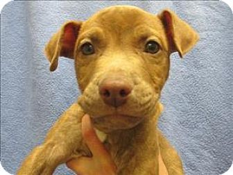Portland Or American Pit Bull Terrier Mix Meet Blue A Puppy