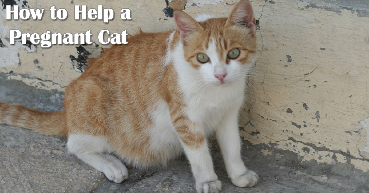 How to Help a Pregnant Cat Playful Kitty Pregnant cat