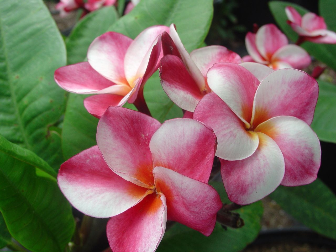 Plumeria by florida colors elsie plumeria 3500 httpswww a strong semi compact plumeria that we originally called painted pink because the swirl looks like it was painted on soft scent and a fantastic bloomer dhlflorist Gallery