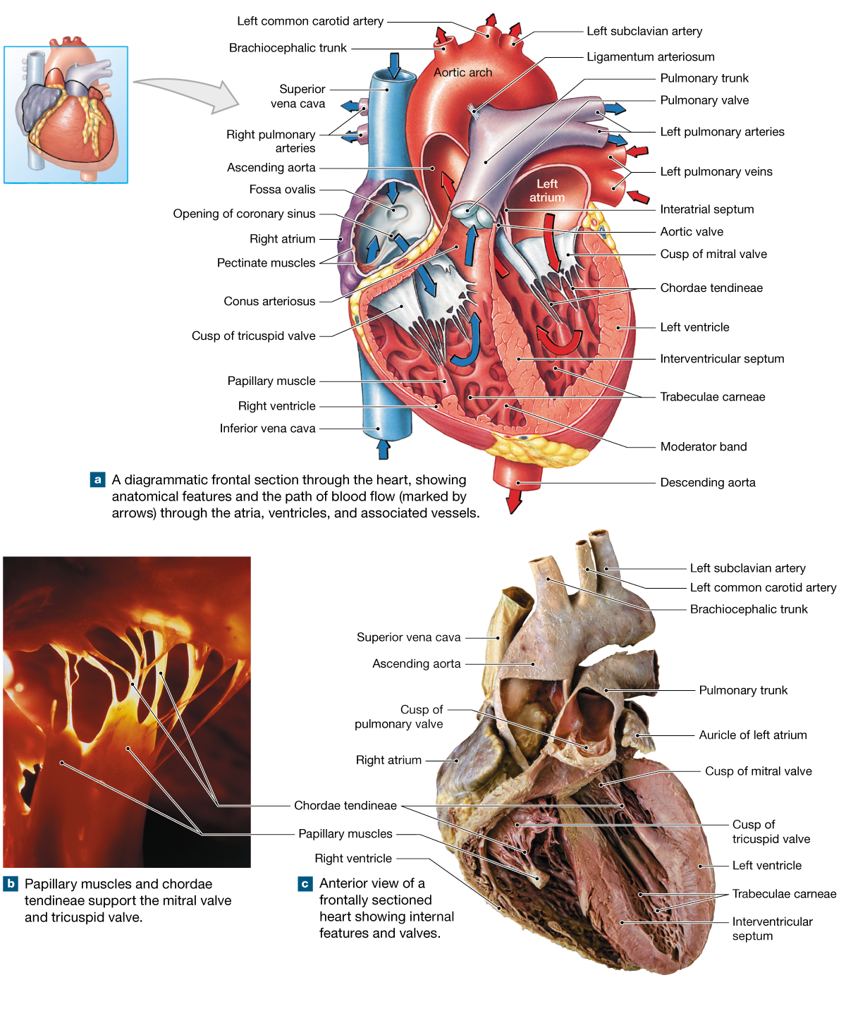 20.1: The heart is a four-chambered organ that pumps blood through ...