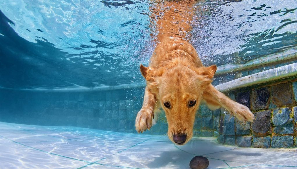 Plausible Hazards For Dogs In Swimming Pools Popular Dog Breeds