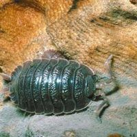 How To Get Rid Of Pill Bugs Inside Home