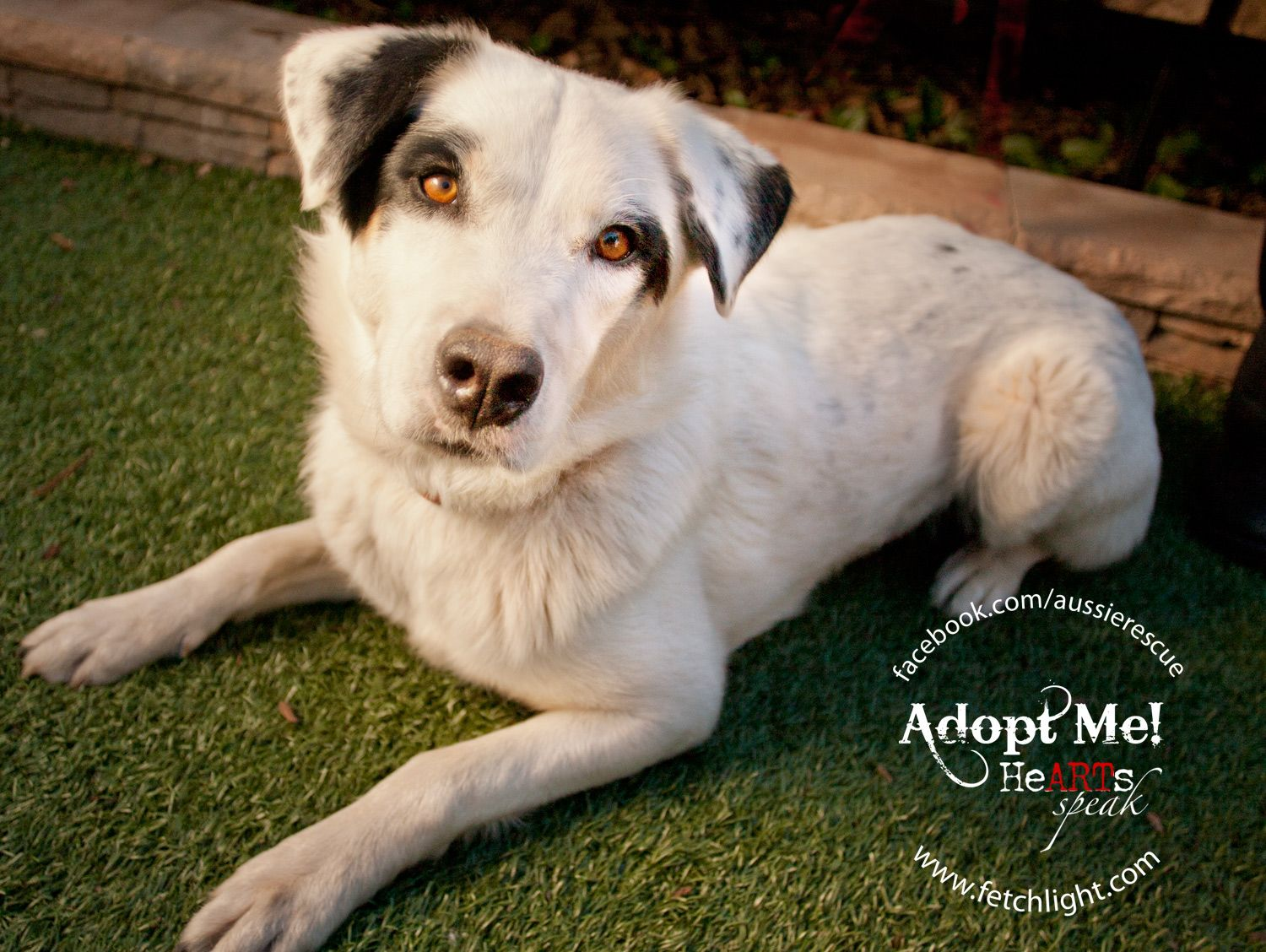 Bandit is available to adopt from Aussie Rescue San Diego
