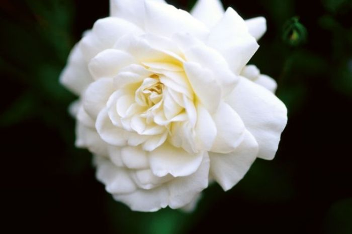Roses In Garden: Sea Foam ~ Hardy Ground Cover Rose ~ Creamy-white