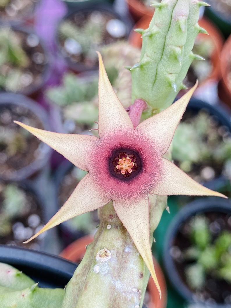 Huernia Procumbens Live Plant
