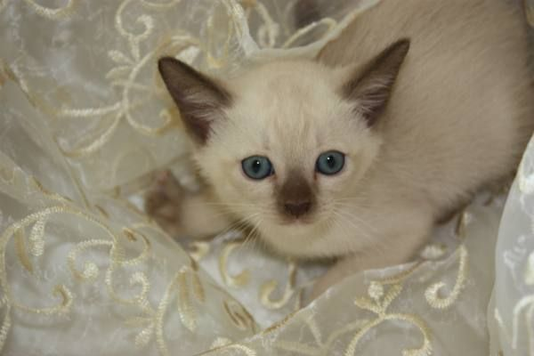 Tonkinese Cat Tonkinese Kittens Males And Females Registered For