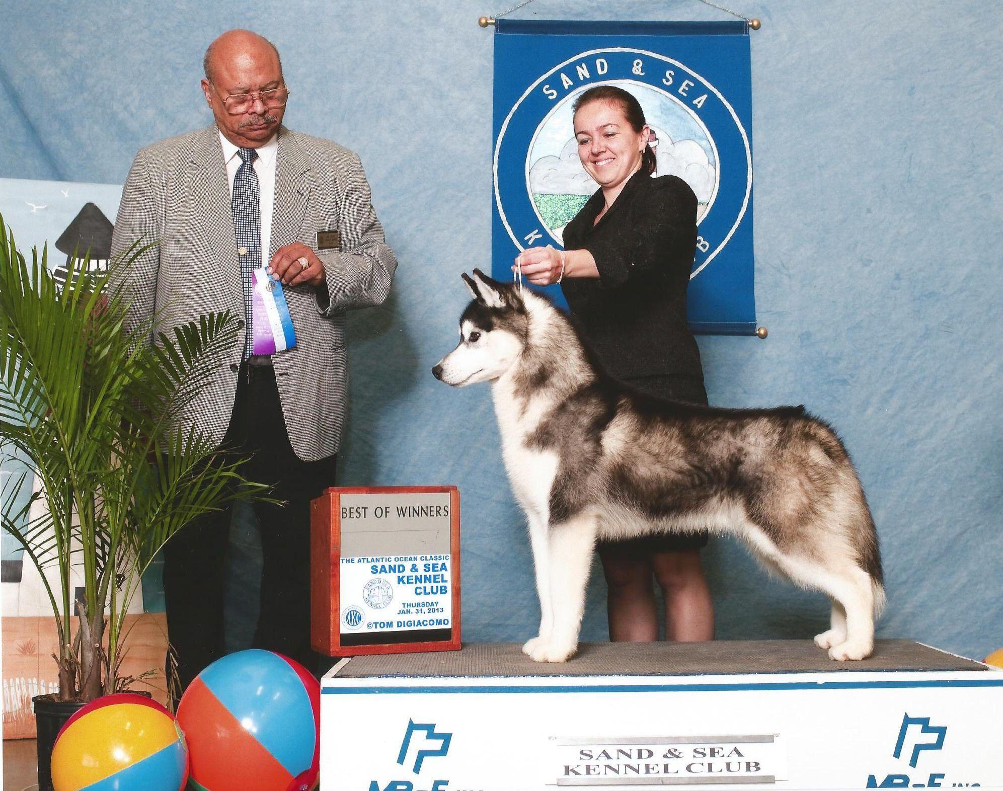 Siberian Husky Joker Taking Best Of Winners For His First Akc