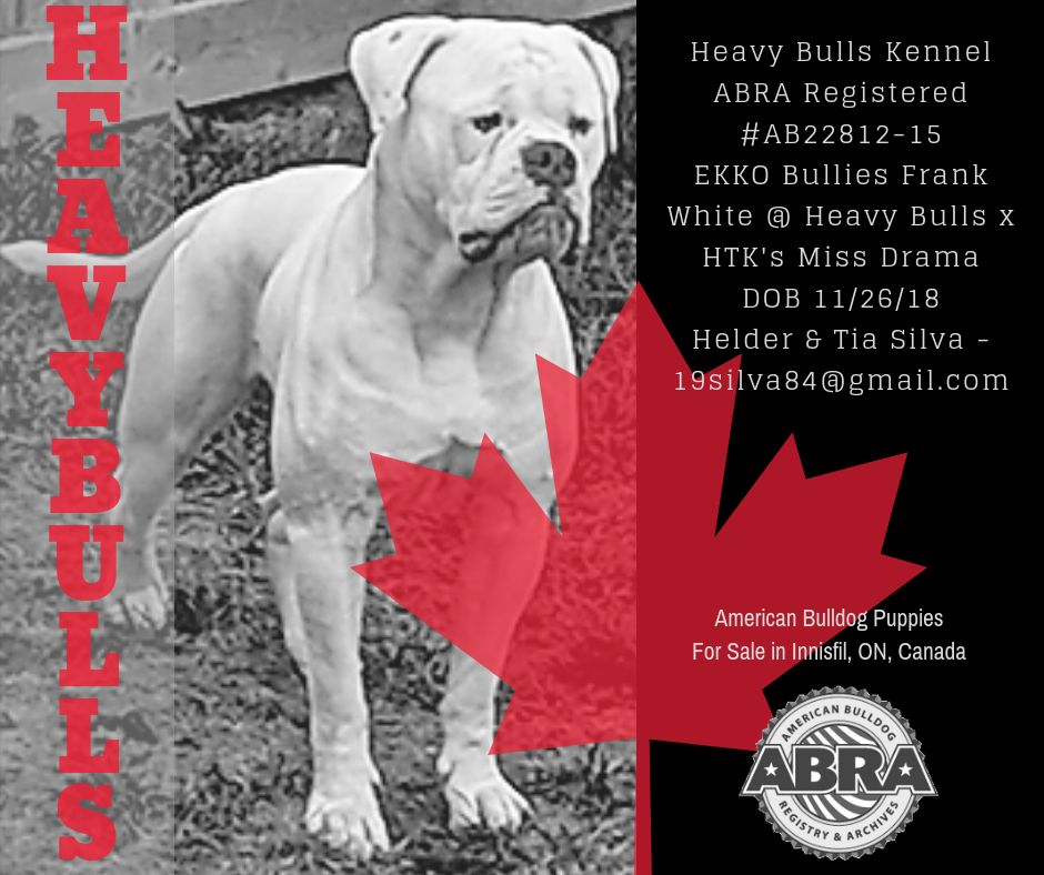 Heavy Bulls Kennel In Innisfil On Canada American Bulldog