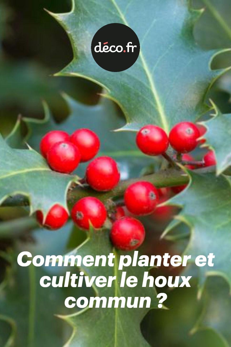 Comment Faire Une Pousse De Houx l'arbuste houx commun pousse spontanément dans les sous-bois