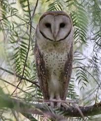 Australian barn owl | Barn owl, Owl, Barn
