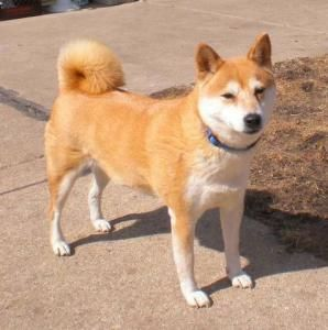 Shiba Inu My Husky Chow Mix Looks Almost Identical To This
