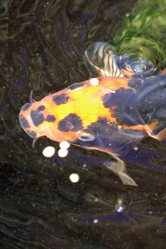 Koi in the water | da see like click