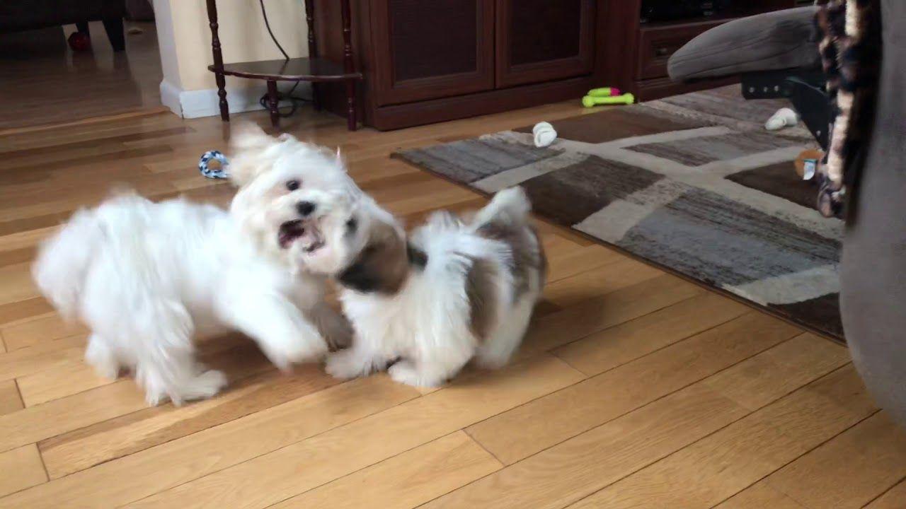55+ Shih Tzu X Bichon Puppies For Sale in 2020 Puppies