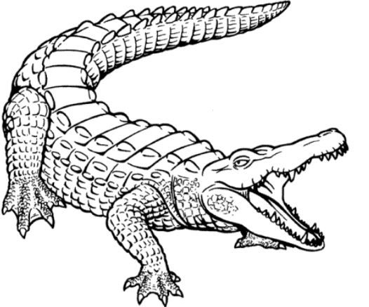 Alligator Coloring Page Free Crocodile Illustration Animal