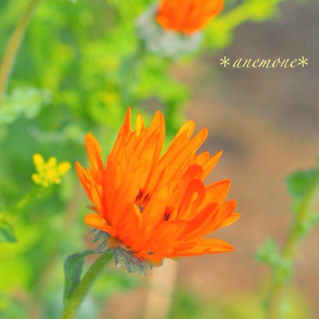 #ベニジウム#Venidium#ジャノメギク#flower