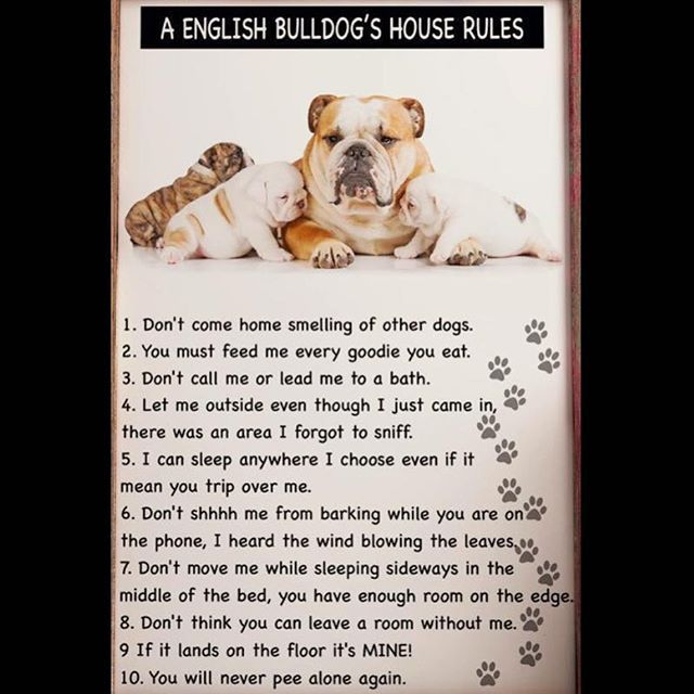 Image Result For Bulldog Rules English Bulldog Funny