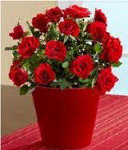Miniature Rose Bush Indoor Care How To Garden