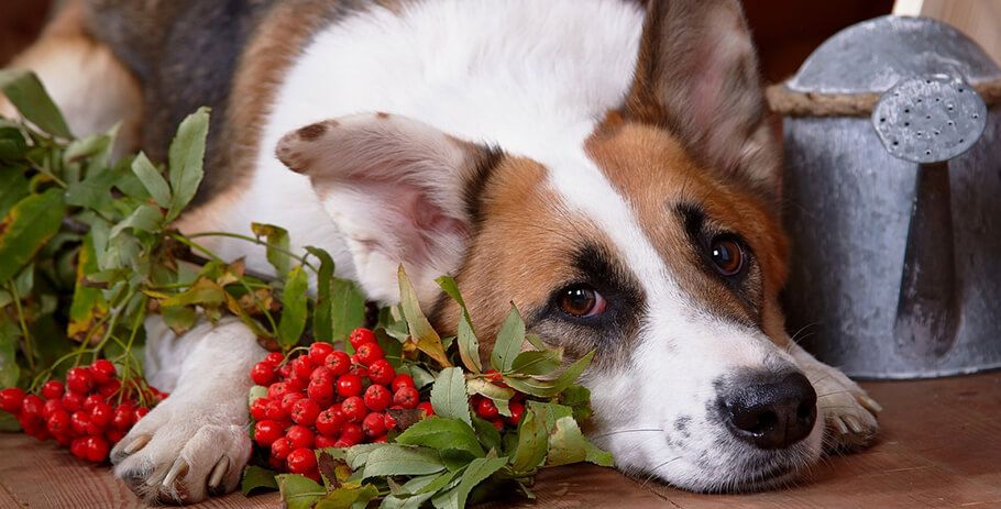 Can Dog Eat Cranberries?
