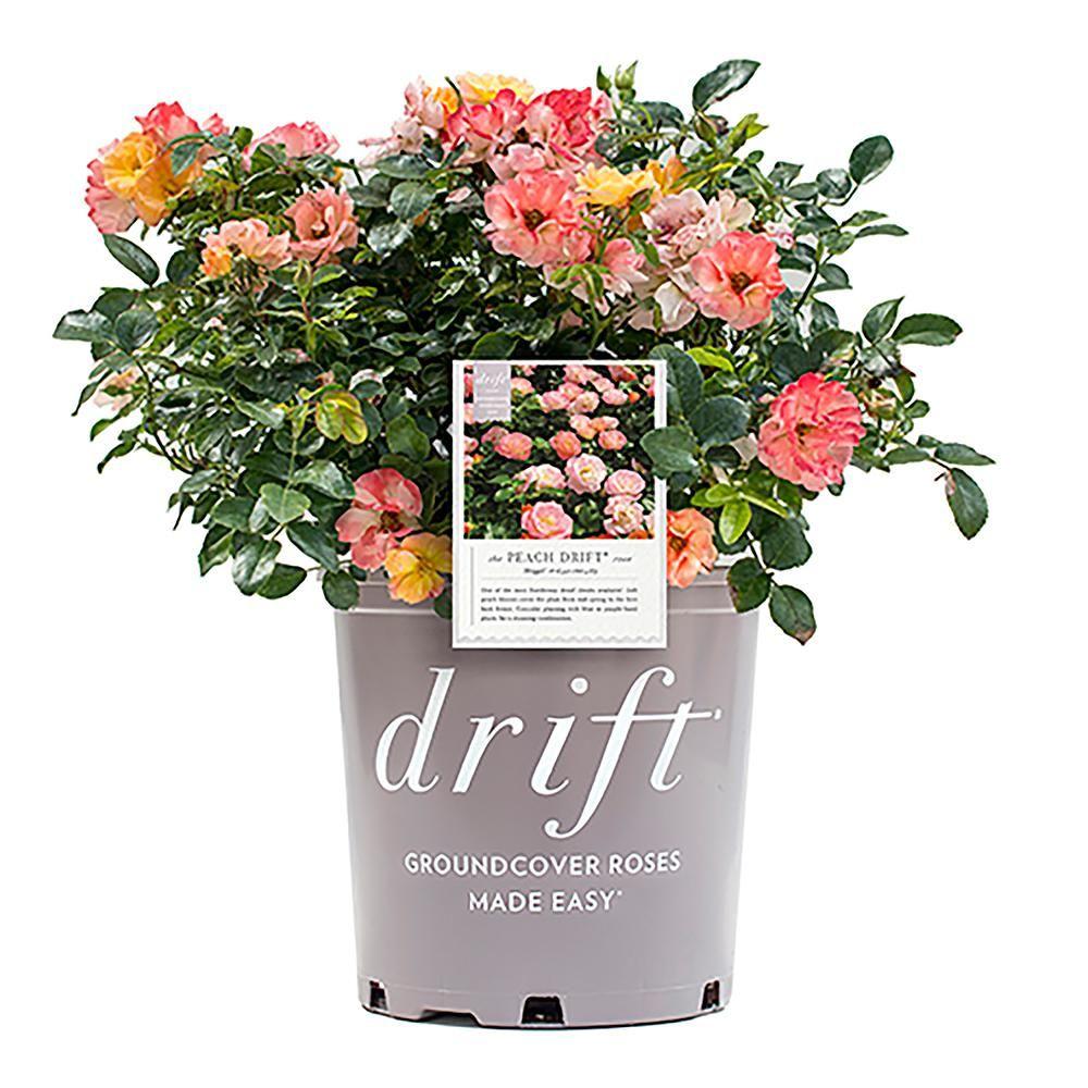 Drift 2 Gal The Peach Drift Rose Bush With Pink Orange Flowers 13194 The Home Depot In 2021 Drift Roses Ground Cover Roses Rose Bush