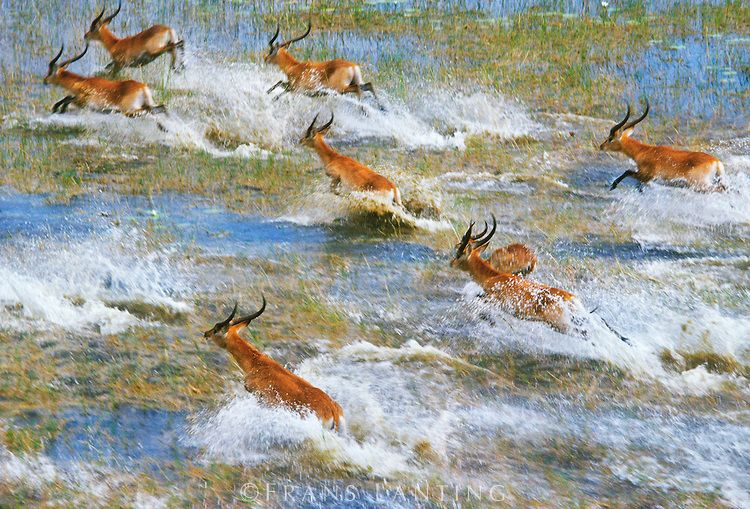 Red lechwe running across flooded grass plains (aerial), Kobus leche leche, Okavango Delta, Botswana Copyright © Frans Lanting / Frans Lanting Stock. .....He has Many many amazing images here at his site....