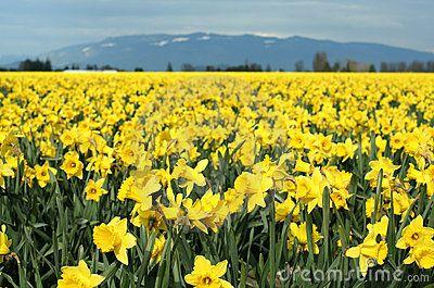 Narcisos Amarillos Todo Color Amarillo Pinterest Narcisos - Narcisos-amarillos