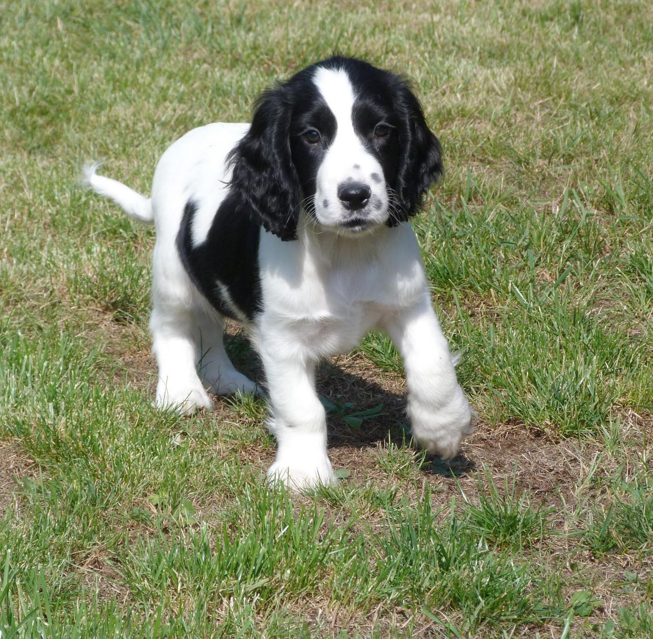 American Cocker Spaniel Black And White Images For Black ...