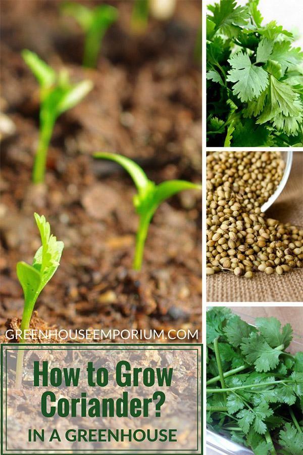 Greenhouse Gardening How to Grow Coriander / Cilantro