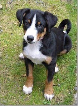 Appenzell Mountain Dog Breed Information And Pictures Dog Breeds Medium Dog Breeds Cute Dogs Breeds