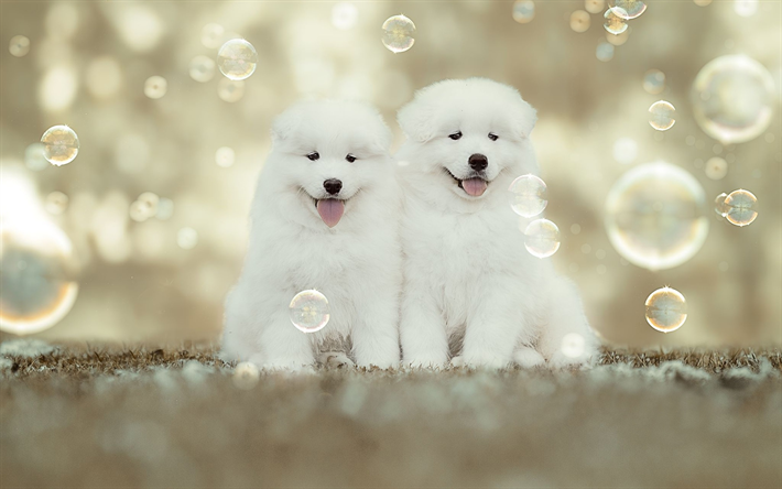 Download Wallpapers Samoyed Soapbubbles Puppies White Dog Family Cute Animals Small Samoyed Furry Dog Dogs Pets Samoyed Dog Besthqwallpapers Com Cute Funny Dogs White Fluffy Puppies White Dogs