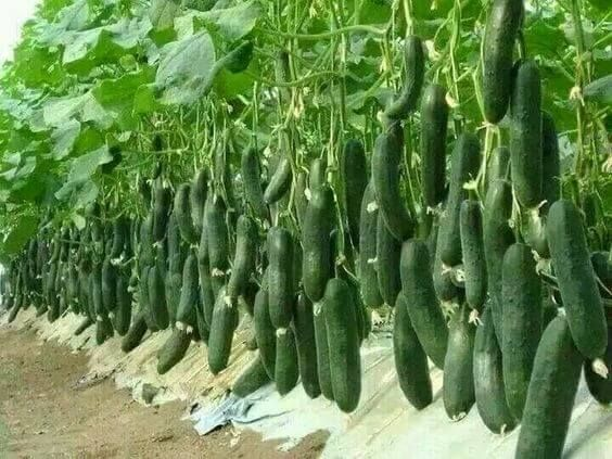 How To Plant Cucumbers Cucumber Plant Planting Vegetables