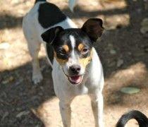 Smooth Fox Terrier Beagle Mix