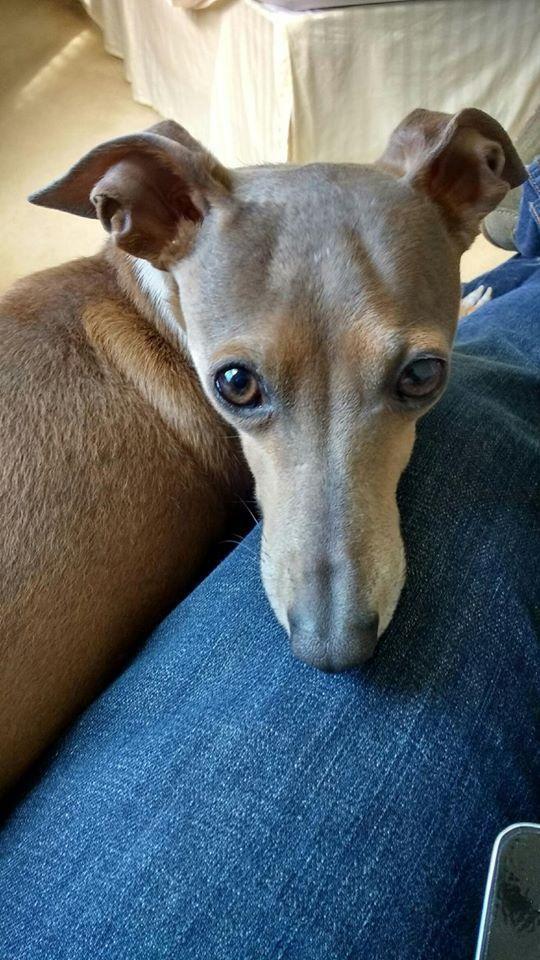 Adopt Tigger On Italian Greyhounds Italian Greyhound Whippet Dogs