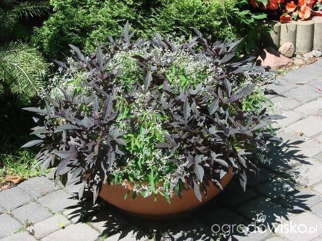 Kompozycje Na Balkony Parapety I Balustrady Strona 6 Forum Ogrodnicze Ogrodowisko Plants Garden