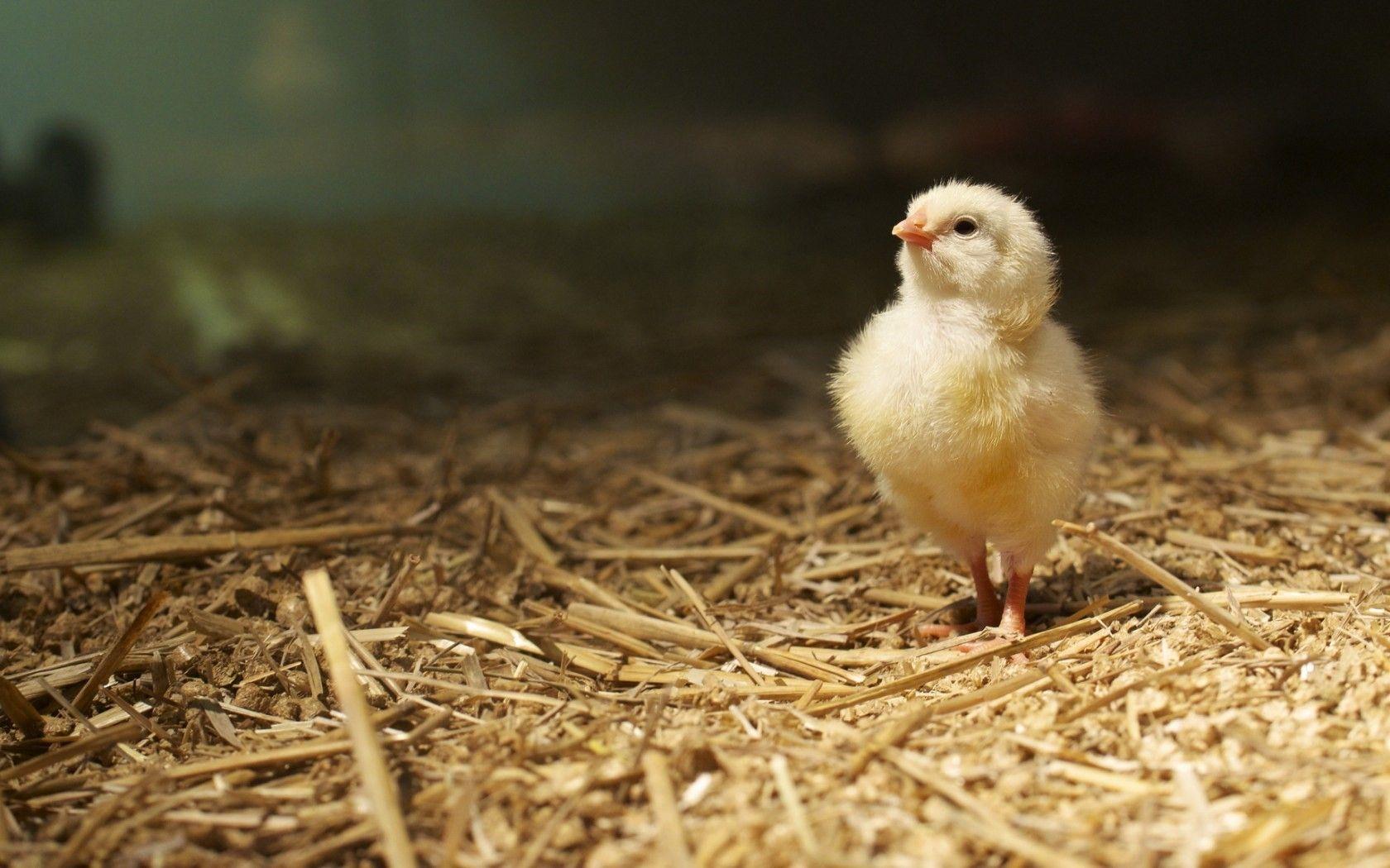 Bird Chicken HD Background