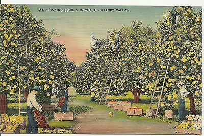 Antique Postcard Picking Lemons In The Rio Grande Valley Texas Unused 1930s Postcard Rio Grande Valley Texas Antique Postcard