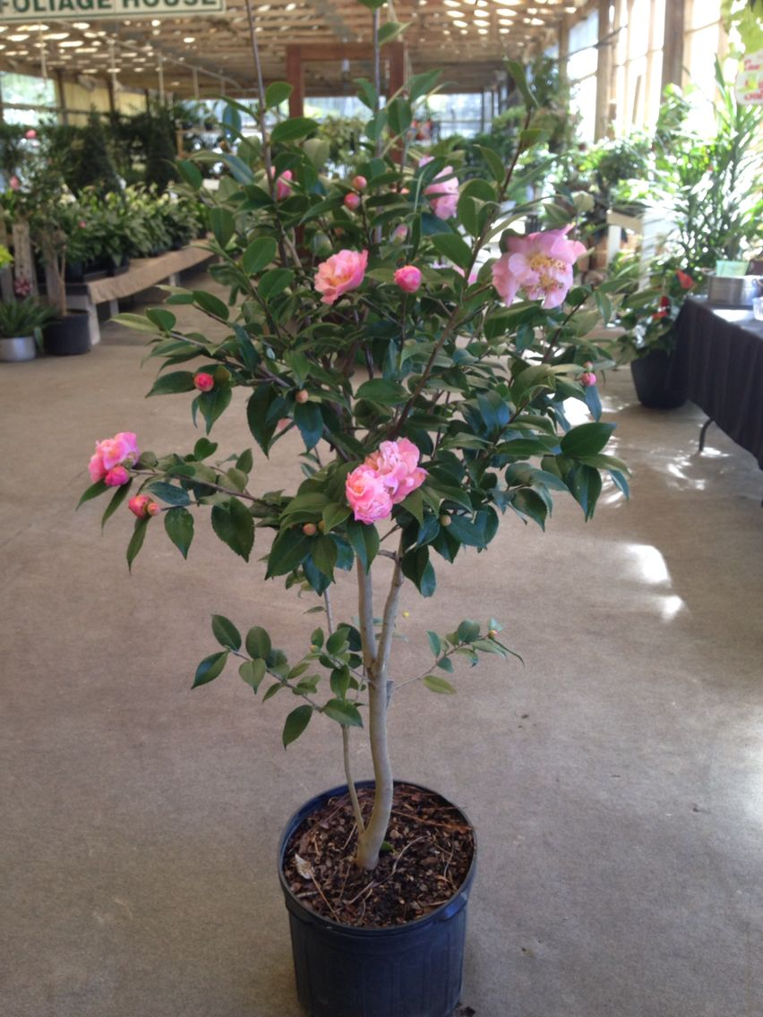Camellia Tree High Fragrance This Camellia Has A Light Sweet Fragrance Camellia Tree Sweet Fragrances Camellia Plant