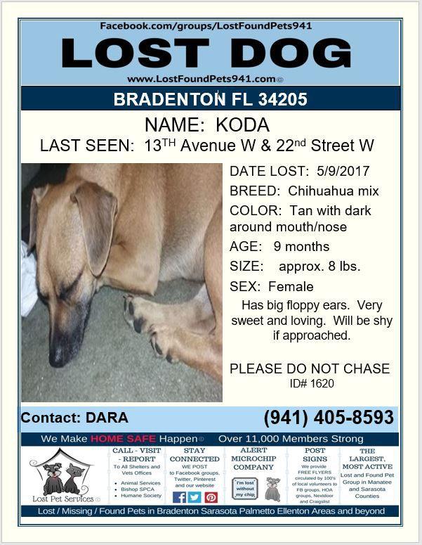 Have You Seen Koda Losing A Dog Manatee County Chihuahua Mix