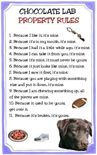 Chocolate Lab Property Rules Magnet VERY FUNNY by tedwards52, $4.79