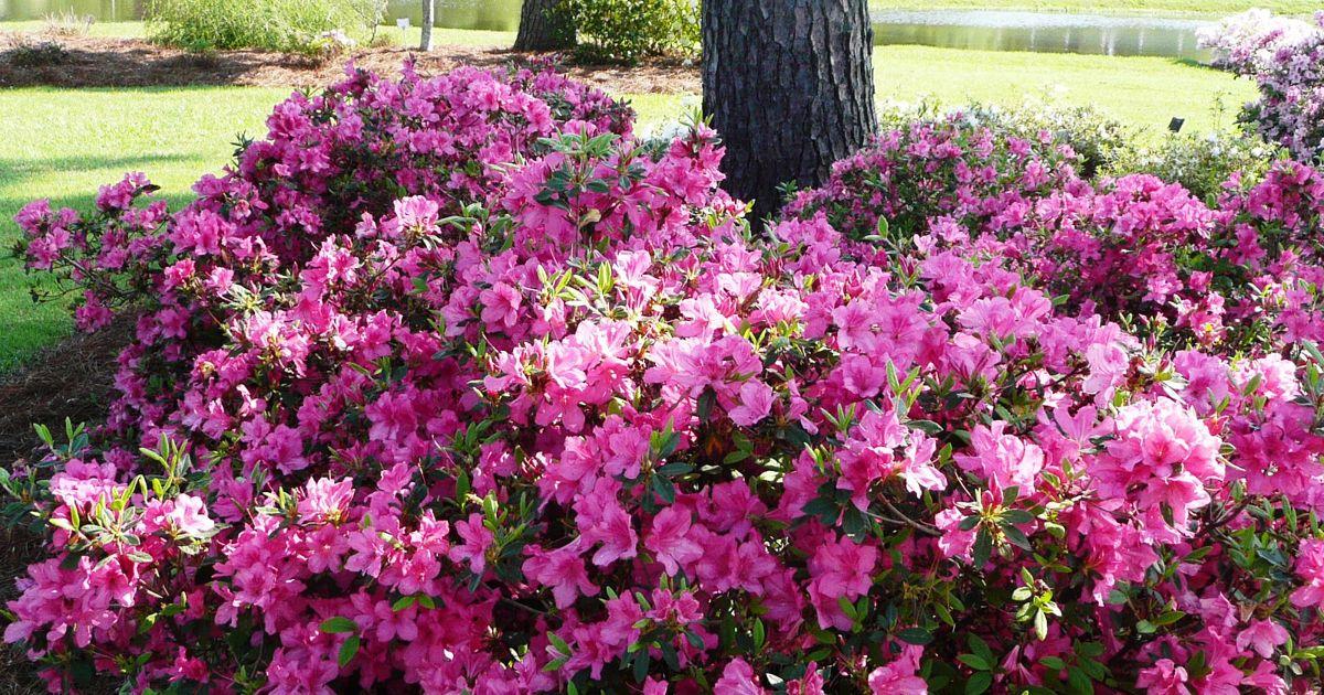 10 Best Uses For Encore Azaleas By Size Azaleas Landscaping Azaleas Garden Azalea Flower