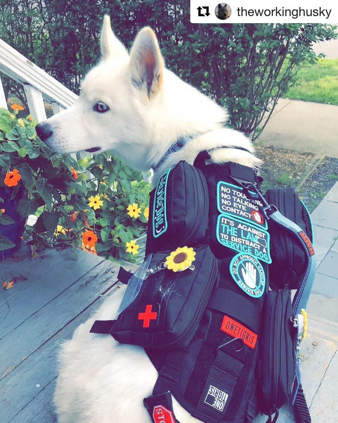 Siberian Husky Outgoing And Cheeky Service Dog Vests Service