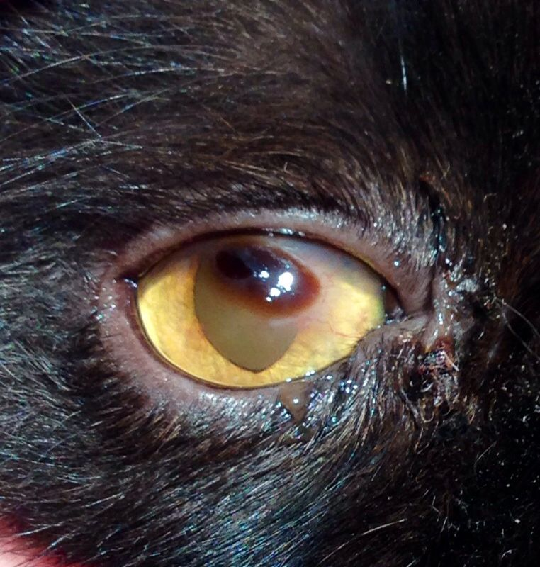 Feline patient with a corneal sequestrum. Surgical removal