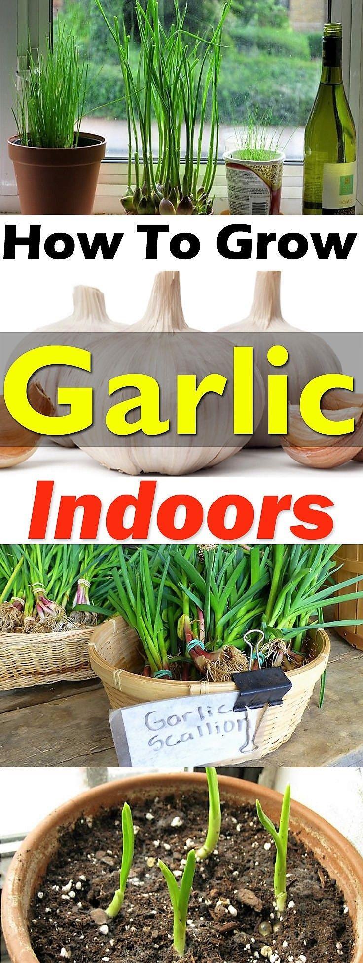 how to grow garlic indoors growing garlic indoors diy gardening ideas pinterest garten. Black Bedroom Furniture Sets. Home Design Ideas