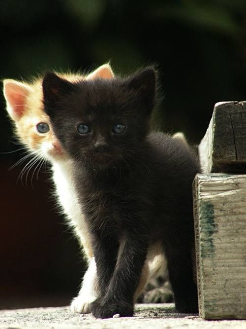 "* * BLACK KITTEN: "" Justs remembers; if weez getz caughts, yer deaf ands I be mute."""