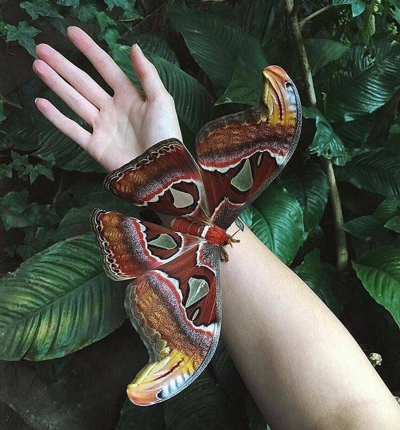 2dc512aa16e14c Attacus atlas - one of the biggest butterflies in the world ...