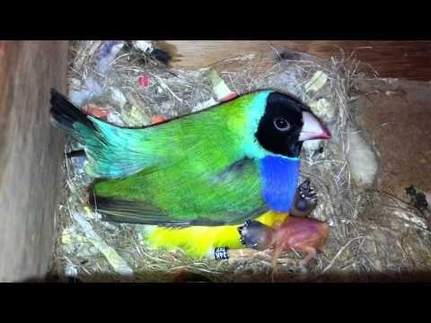 Gouldian Finch Gökkuşağı İspinozu Ve Bebekleri Youtube Finch The Incredibles Birds