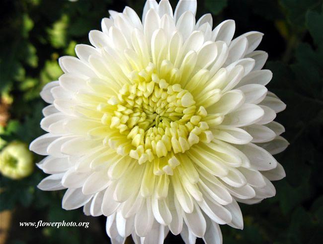 White Mums Table Arrangemt Mums Flowers White Mums Flower Photos