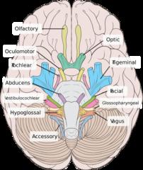 MBChB3 - Week 15 - Neurology flashcards | Quizlet | Medicine | Nerve